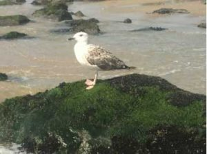 standing-seagull